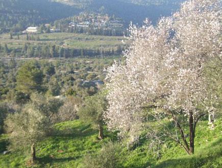 שקדיה בהרי ירושלים